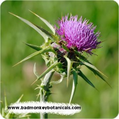 1-milk-thistle-500px-rounded-240x240