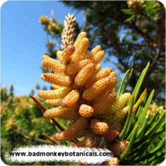 1-pine-pollen-500px-rounded-240x240-1